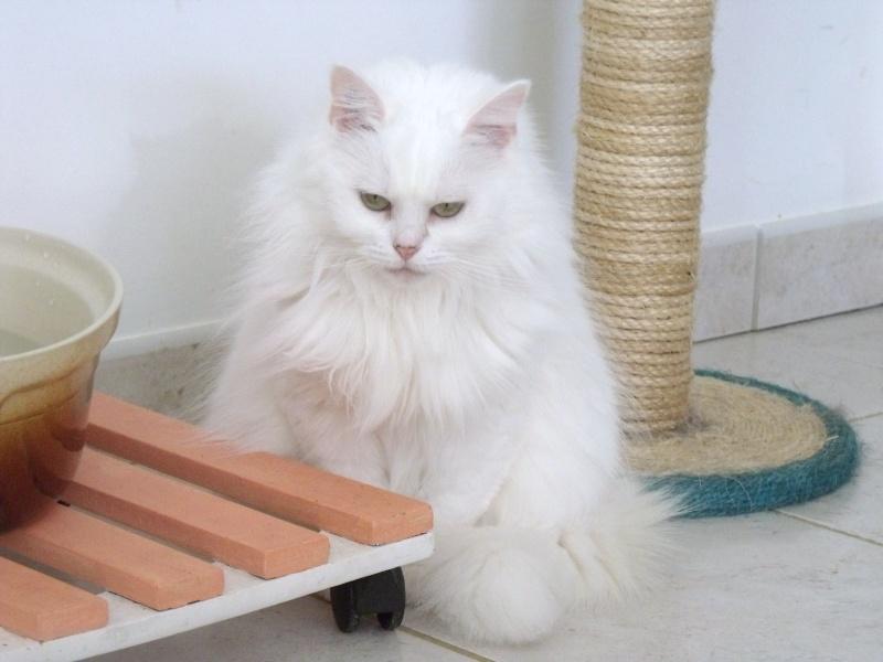 Pussy, chatte type persan à besoin d'un coup de patte Dscf0023