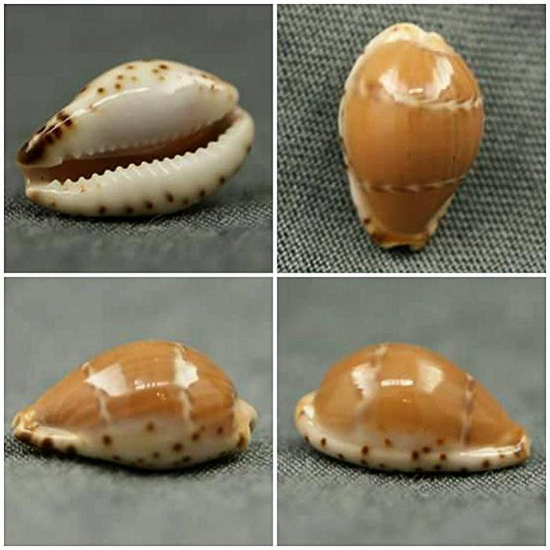 Palmadusta androyensis consanguinea - Blöcher & Lorenz, 2000 010