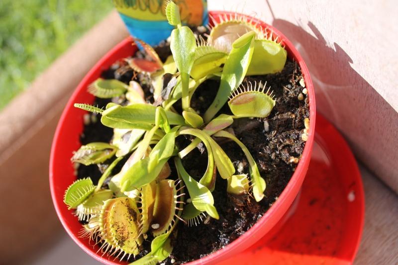 Dionaea Muscipula (Plante carnivore) - Page 2 23_aou10