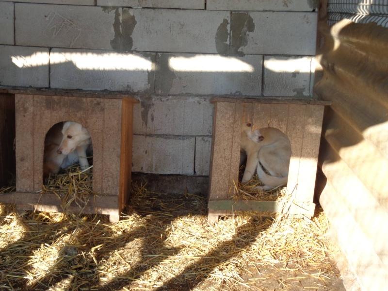 ALBISHOR / WHITE - MÂLE de couleur BLANCHE - né en 2009 - Lenuta, parrainé par Armance et Epinette -  R-VV-LBC-SC- SOS - Page 2 12658010