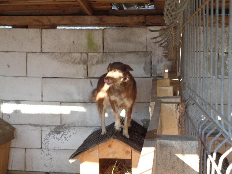 LAORA, femelle rescapée d'Oltenita du 30 avril 2015, née fin 2013, marron roux - marrainée par lilirez2 - SOS-R-SC 12694615