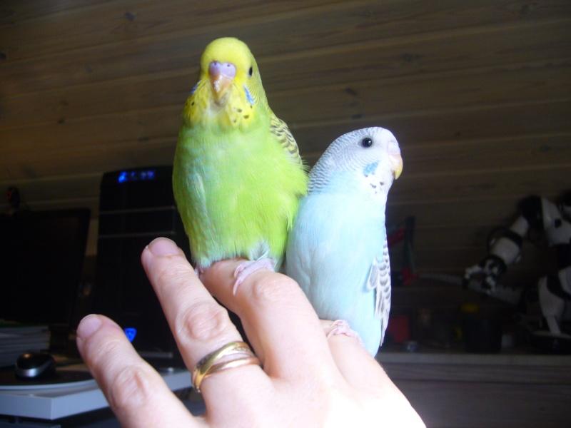 Je vous présente Kiwi et Lali, perruches eam!! P1050522