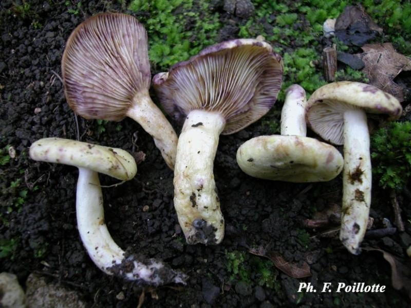 les champignons par ordre alphabétique. - Page 5 Image_10