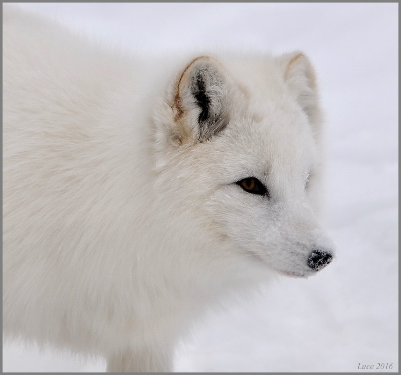 Renard arctique !  Dsc_9610