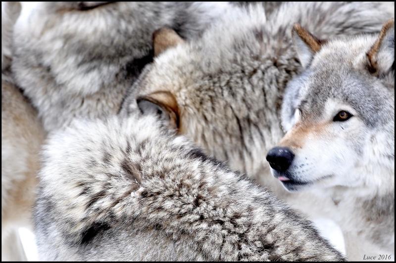 Du loups !  Dsc_9910