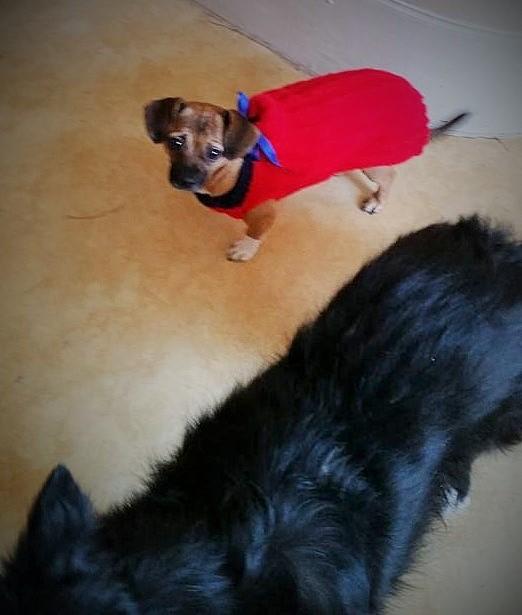 Betty, mini chien, soeur de Dixie 12512610