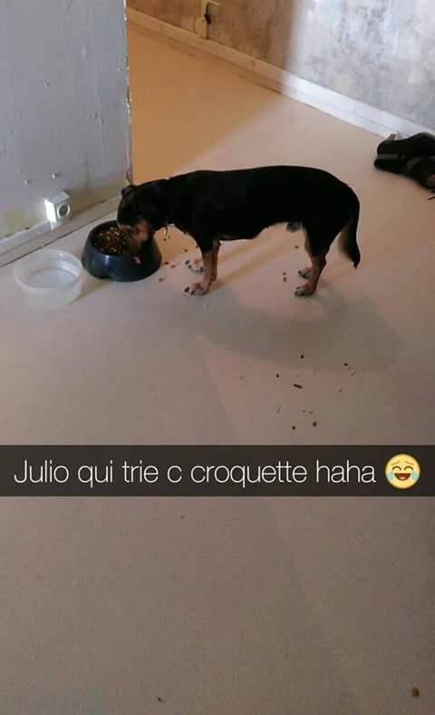 JULIO    chiot tricolore Fb_img18