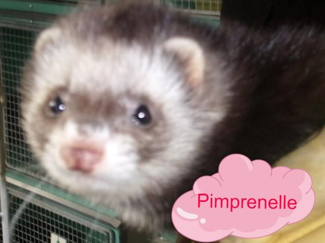 Pimprenelle, femelle putoisée 100_0110