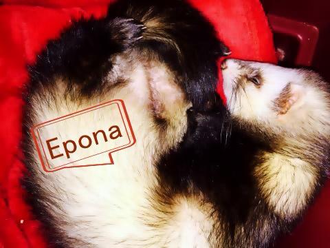 Epona, femelle putoisée Epona10