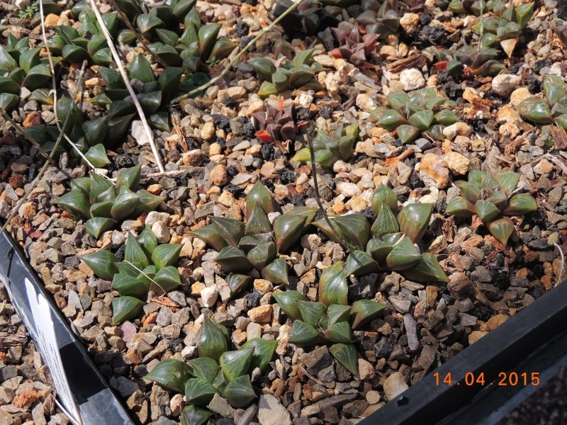 Cacti and Sukkulent in Köln, every day new flowers in the greenhouse Part 135 9091710