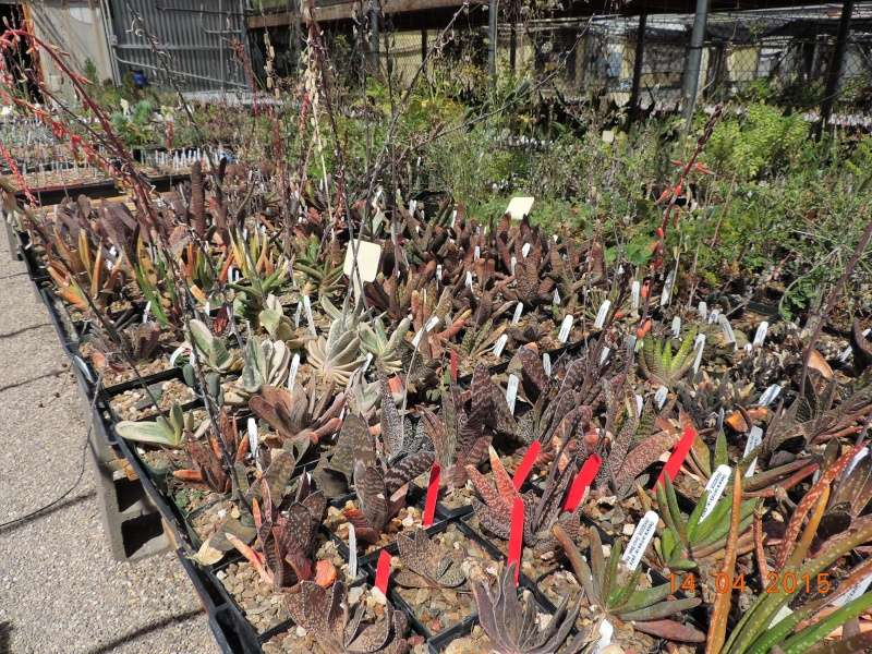 Cacti and Sukkulent in Köln, every day new flowers in the greenhouse Part 135 9093510