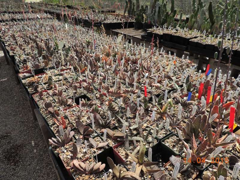 Cacti and Sukkulent in Köln, every day new flowers in the greenhouse Part 135 9093610