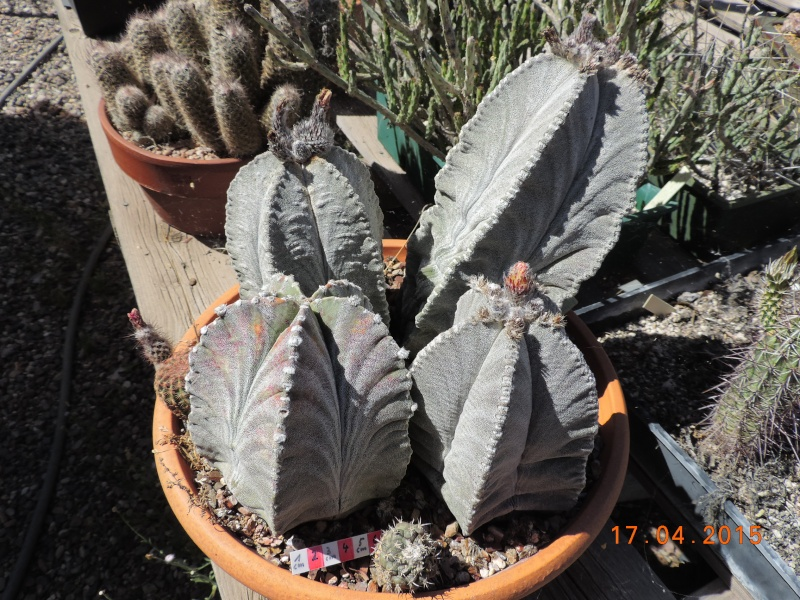 Cacti and Sukkulent in Köln, every day new flowers in the greenhouse Part 135 9155110