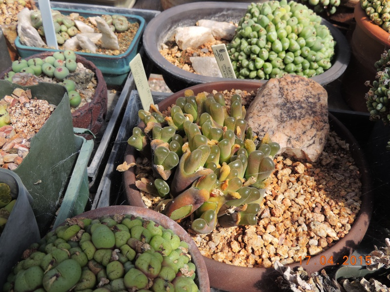 Cacti and Sukkulent in Köln, every day new flowers in the greenhouse Part 135 9157010