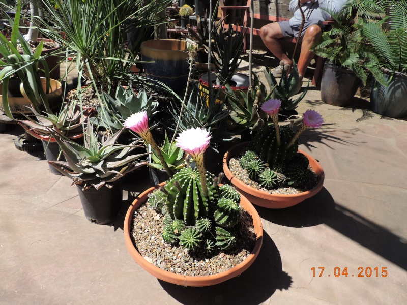 Cacti and Sukkulent in Köln, every day new flowers in the greenhouse Part 135 9162410