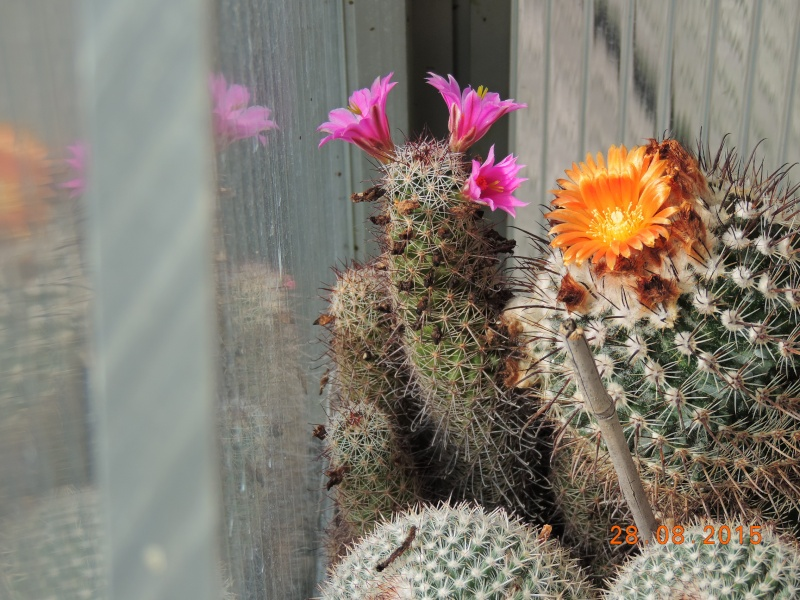 Cacti and Sukkulent in Köln, every day new flowers in the greenhouse Part 136 Bild_130