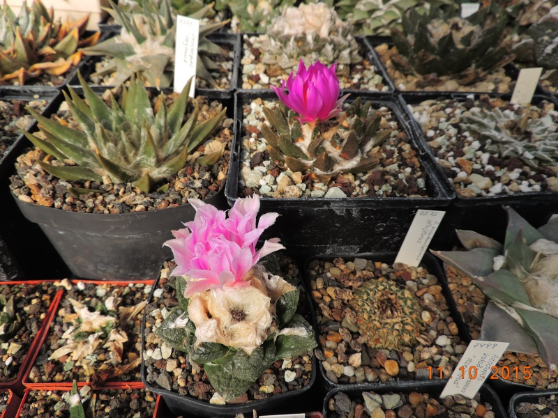 Cacti and Sukkulent in Köln, every day new flowers in the greenhouse Part 136 Bild_161