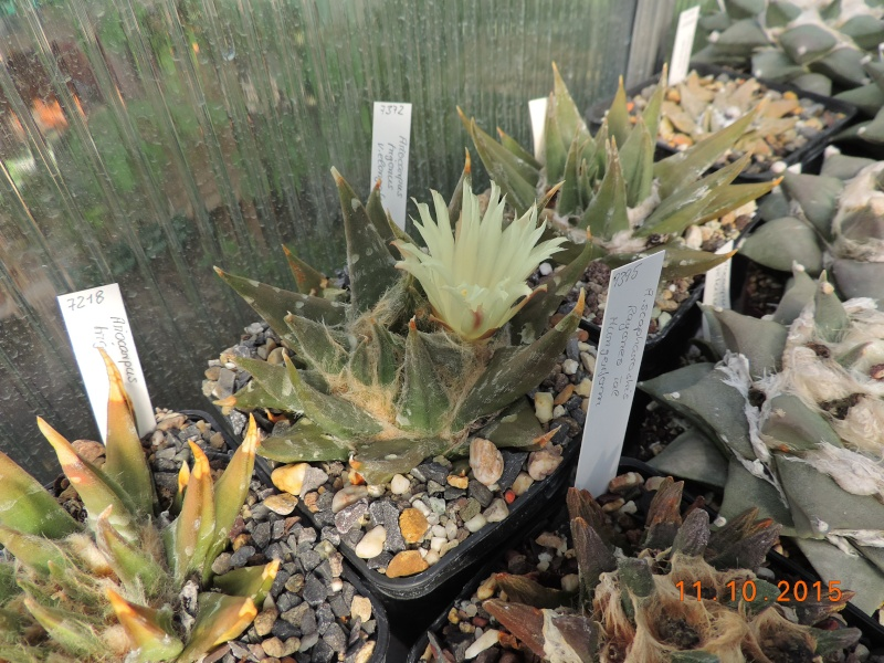 Cacti and Sukkulent in Köln, every day new flowers in the greenhouse Part 136 Bild_162