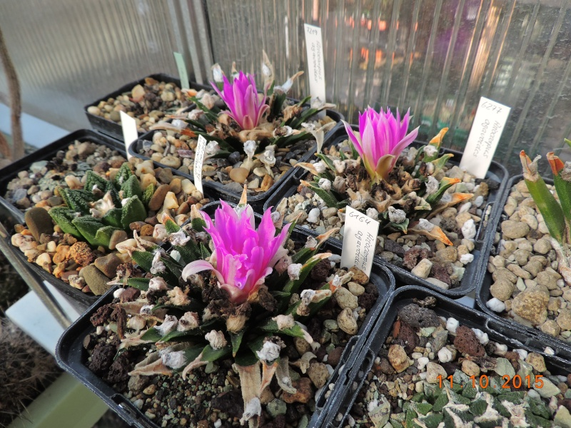 Cacti and Sukkulent in Köln, every day new flowers in the greenhouse Part 136 Bild_163
