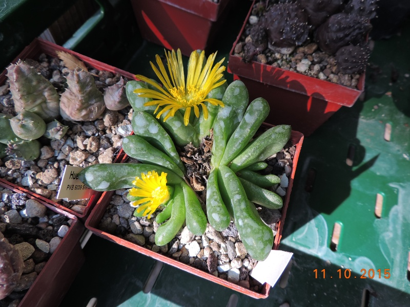 Cacti and Sukkulent in Köln, every day new flowers in the greenhouse Part 136 Bild_165