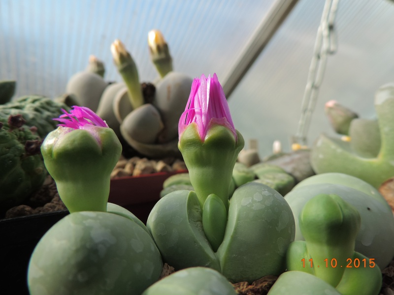 Cacti and Sukkulent in Köln, every day new flowers in the greenhouse Part 136 Bild_171