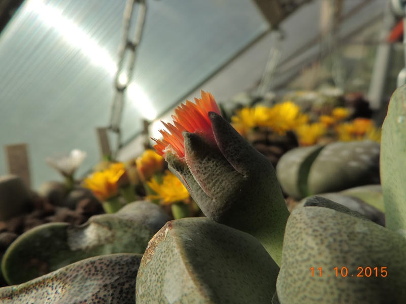 Cacti and Sukkulent in Köln, every day new flowers in the greenhouse Part 136 Bild_175