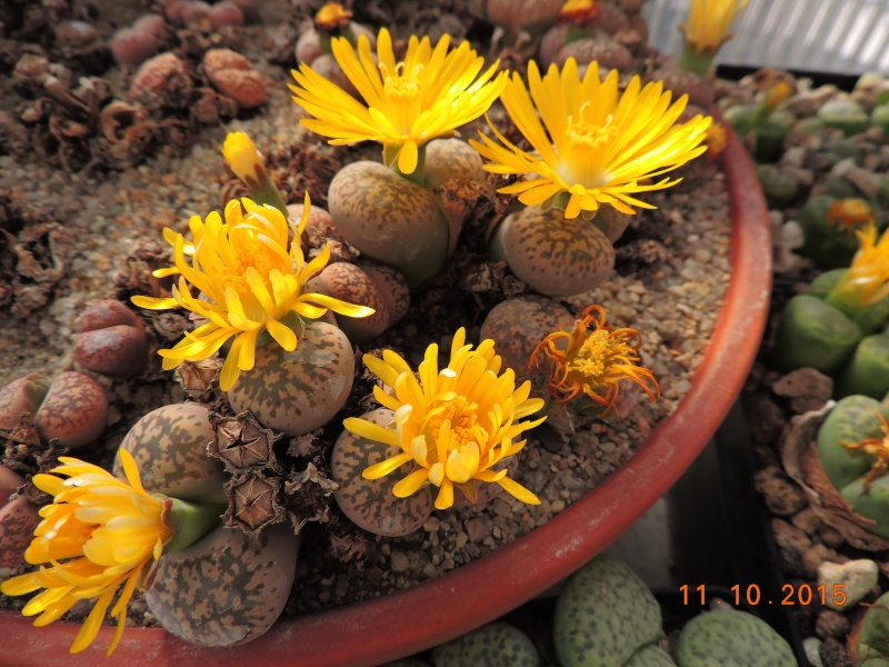 Cacti and Sukkulent in Köln, every day new flowers in the greenhouse Part 136 Bild_180