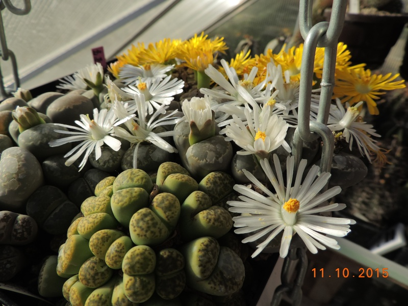 Cacti and Sukkulent in Köln, every day new flowers in the greenhouse Part 136 Bild_185