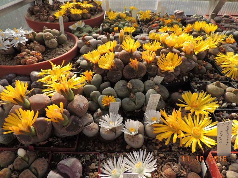 Cacti and Sukkulent in Köln, every day new flowers in the greenhouse Part 136 Bild_188