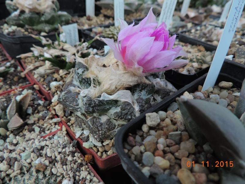 Cacti and Sukkulent in Köln, every day new flowers in the greenhouse Part 136 Bild_202