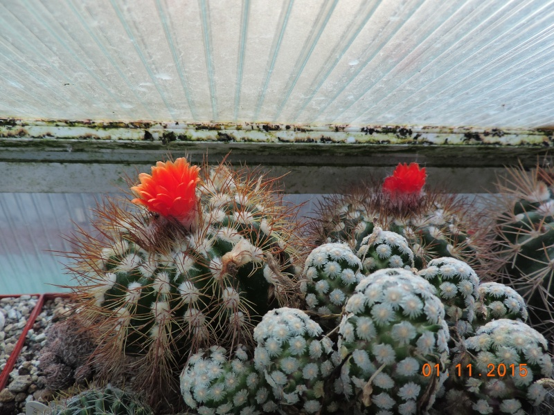 Cacti and Sukkulent in Köln, every day new flowers in the greenhouse Part 136 Bild_205