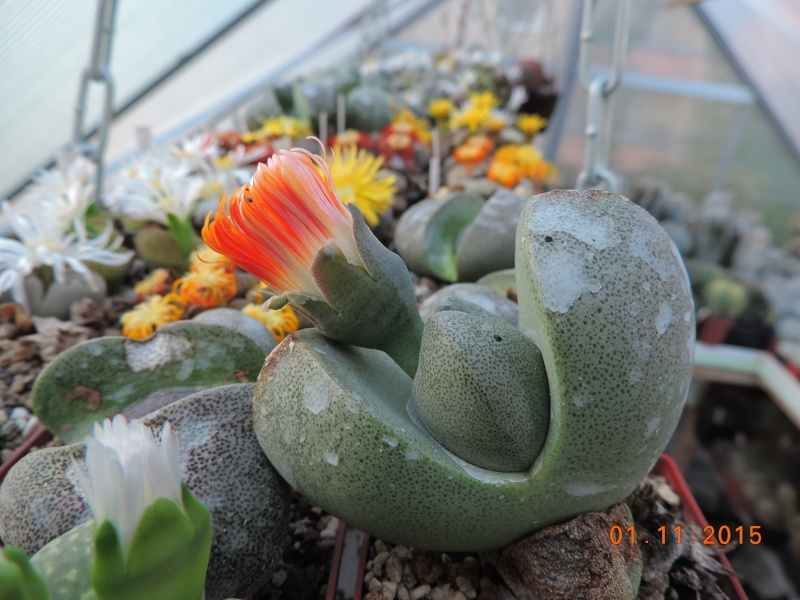 Cacti and Sukkulent in Köln, every day new flowers in the greenhouse Part 136 Bild_210