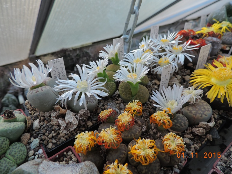 Cacti and Sukkulent in Köln, every day new flowers in the greenhouse Part 136 Bild_212