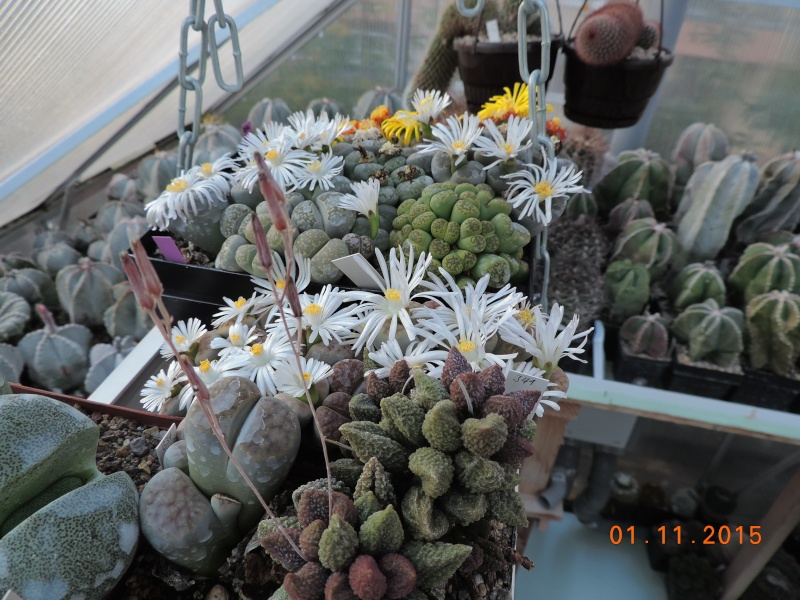 Cacti and Sukkulent in Köln, every day new flowers in the greenhouse Part 136 Bild_218