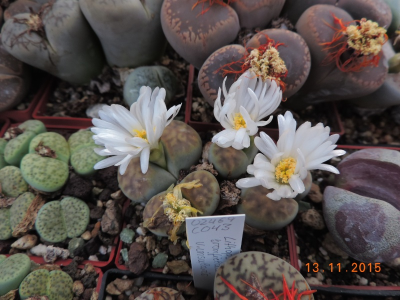 Cacti and Sukkulent in Köln, every day new flowers in the greenhouse Part 137 Bild_242