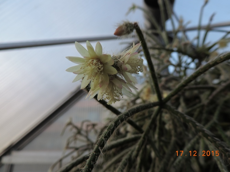 Cacti and Sukkulent in Köln, every day new flowers in the greenhouse Part 137 Bild_257