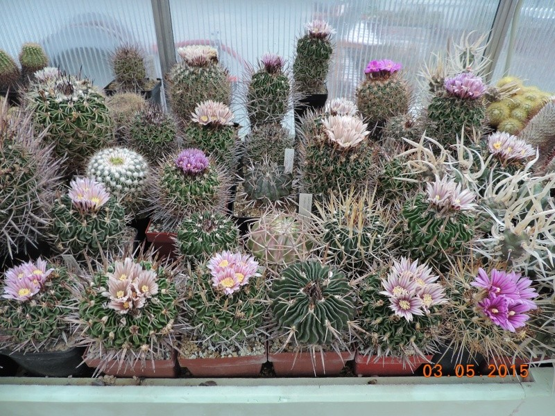 Cacti and Sukkulent in Köln, every day new flowers in the greenhouse Part 136 Bild_915