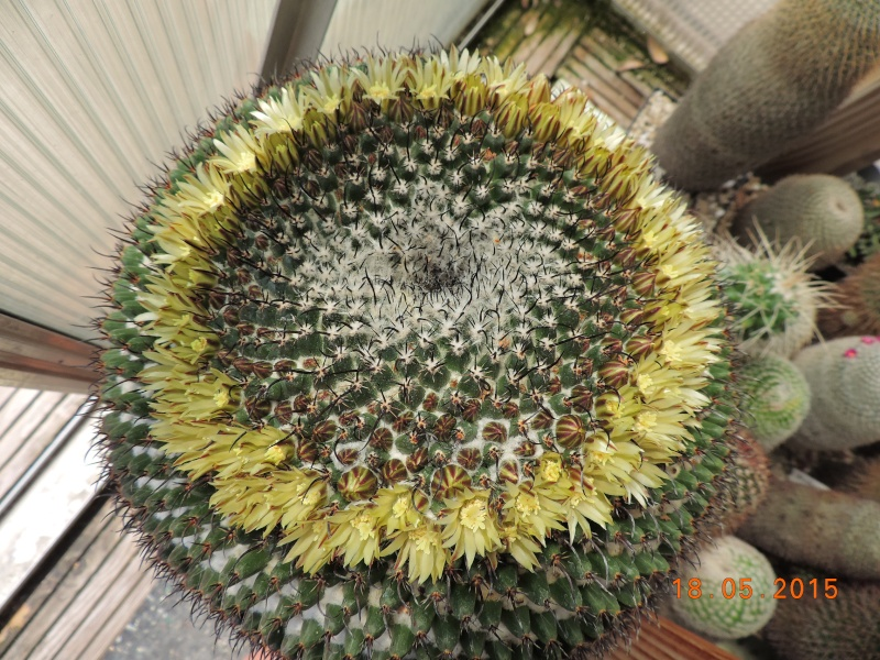 Cacti and Sukkulent in Köln, every day new flowers in the greenhouse Part 136 Bild_916