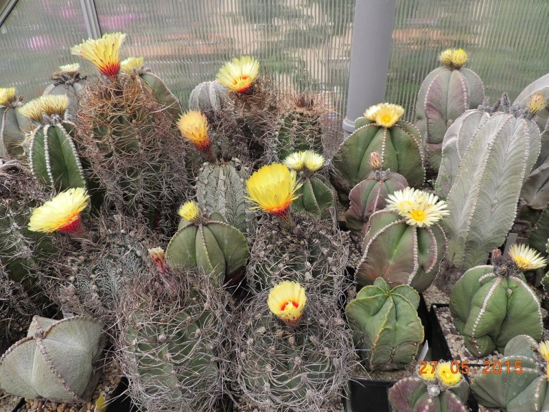 Cacti and Sukkulent in Köln, every day new flowers in the greenhouse Part 136 Bild_917