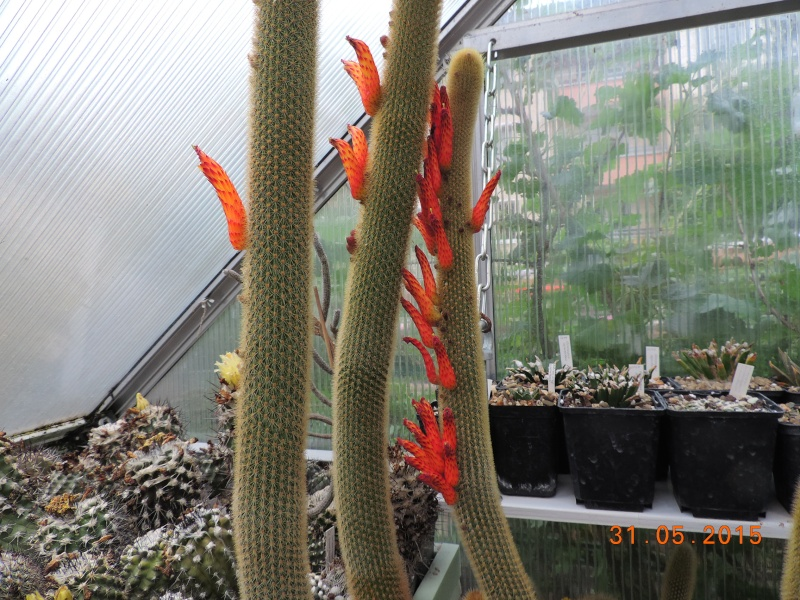 Cacti and Sukkulent in Köln, every day new flowers in the greenhouse Part 136 Bild_918