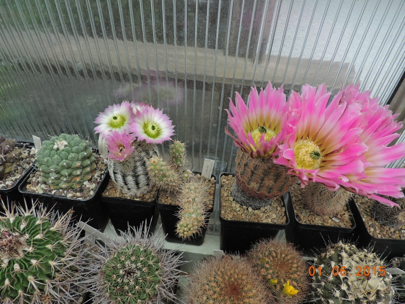 Cacti and Sukkulent in Köln, every day new flowers in the greenhouse Part 136 Bild_919