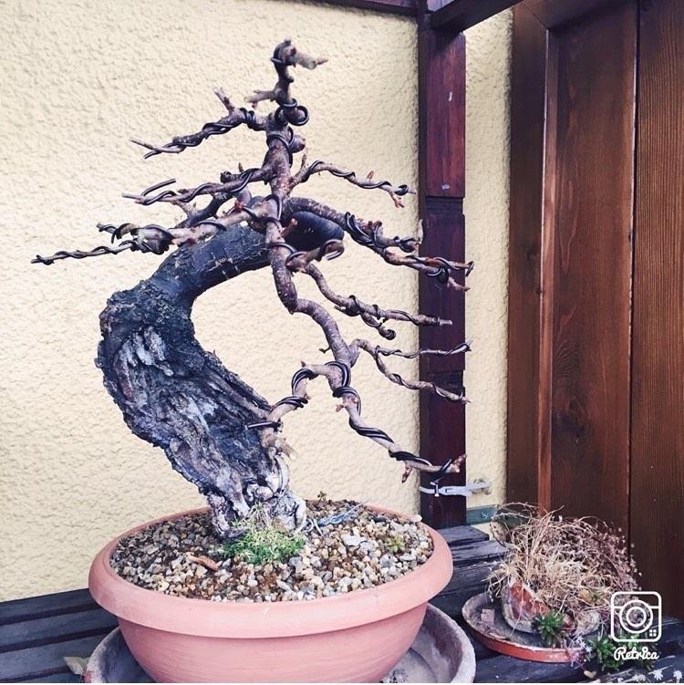 """Prunus mahaleb """"Stelo di giada"""". - Pagina 4 Marasc10"""