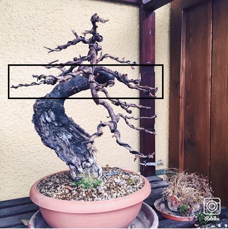 """Prunus mahaleb """"Stelo di giada"""". - Pagina 4 Marasc11"""