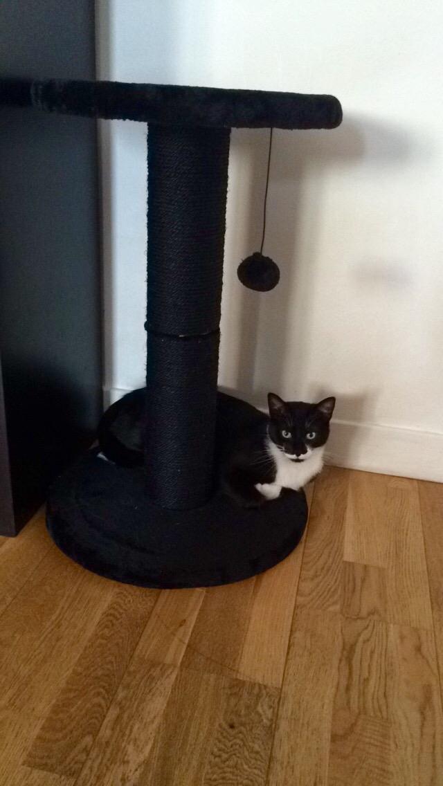 JEFFERSON, chaton mâle noir et blanc, né le 20/08/14 Fullsi12
