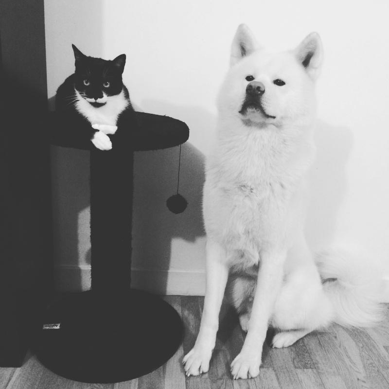 JEFFERSON, chaton mâle noir et blanc, né le 20/08/14 Img_6310