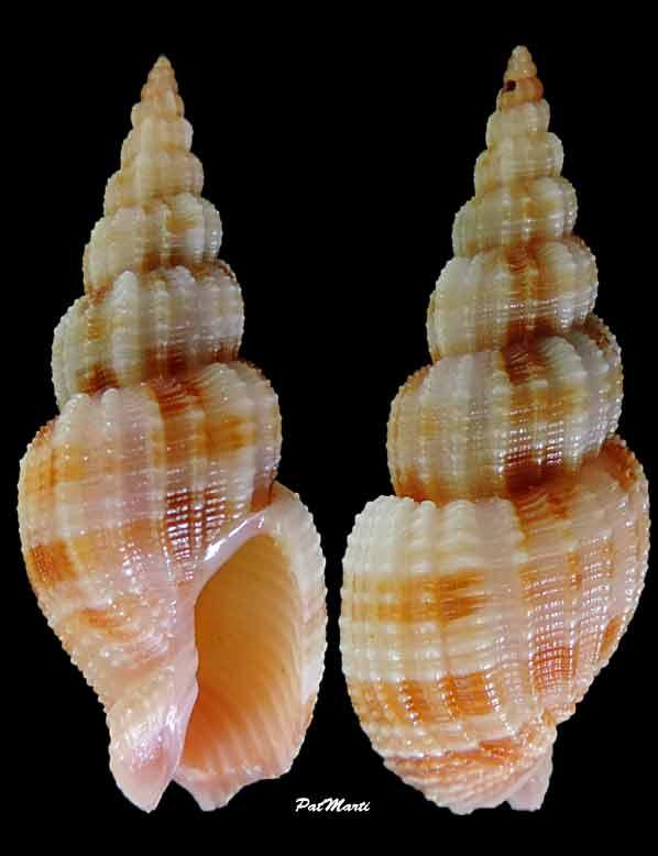 Phos roseatus - Hinds, 1844 Antill10