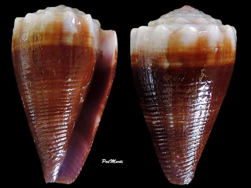 Conus (Floraconus) balteatus  (G. B. Sowerby I, 1833) - Page 2 Conus-10