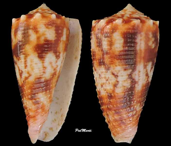 Conus (Phasmoconus) moluccensis   Küster, 1838 Conus-21