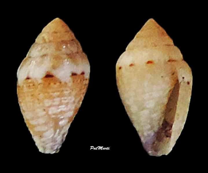 Pygmaeconus traillii (A. Adams, 1855)   Conus-25