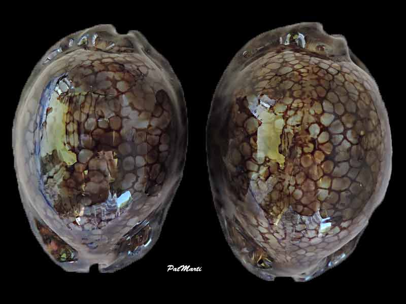 Mauritia maculifera scindata - Lorenz, 2002 Cyp-ma10